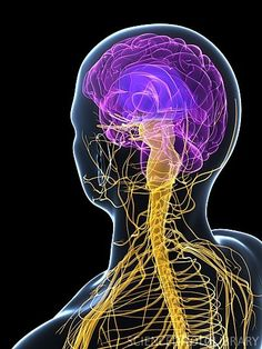 Human nervous system. Brain. CNS. Central Nervous System.   Chiropractic