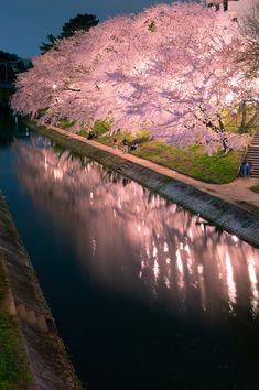 Nadire Atas on Cherry Blossom Trees Cherry trees at night in Okazaki Aichi,Japan Beautiful World, Beautiful Places, Beautiful Pictures, Aichi, Blossom Trees, Cherry Tree, Cherry Blossom Tree, Japan Travel, Belle Photo