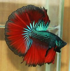 Betta fish are beautiful fish but, usually poorly cared for. My dad's betta looks kind of lime this. The fins aren't as perfect though.