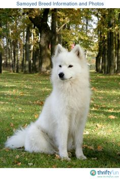 This page contains Samoyed breed information and photos. The Samoyed breed gets its name from the Samoyedic peoples of Siberia. They were originally bred as working and herding dogs, but make excellent companion dogs.