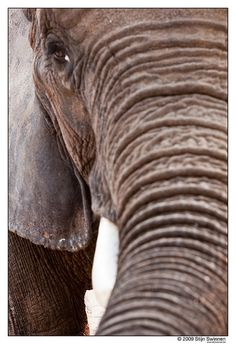 She wears her wrinkles well : ) #ivoryforelephants #stoppoaching #elephants #animals for #ivory