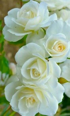 Sueños compartidos Whenever we approached the Flores & Prats organization, we wanted to focus on Beautiful Rose Flowers, All Flowers, Flowers Nature, Exotic Flowers, Amazing Flowers, White Flowers, Growing Roses, Arte Floral, Flower Pictures