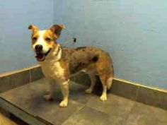 ROSCOE is an adoptable Australian Shepherd Dog in Brooklyn, NY.  ...