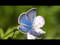 A Course in Miracles - Holy Spirit Autopilot – David Hoffmeister ACIM Butterfly Video, Blue Butterfly, Joe Hisaishi, Video Effects, Free Stock Video, Call Of The Wild, A Course In Miracles, Relaxing Music, Beautiful Butterflies