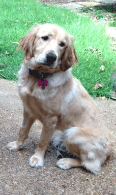 This is Gracie - 1 yr. She was an owner surrender due to lack of time. She is spayed, current on vaccinations, potty trained, good with dogs and kids. Memphis Area Golden Retriever Rescue, TN - https://magrr.org/available-goldens/gracie/