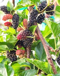Dwarf Ever-bearing Juicy Black Mulberry Indoor fruit tree! Bamboo Plants For Sale, Large Plants, Summer Bedding Plants, Cherry Plant, Clumping Bamboo, Ginger Plant, Blueberry Bushes, Banana Plants, Mulberry Tree