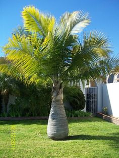 Great Majesty Palm: Largest Majesty Palm ~ metrohomesite.com Gardening Inspiration