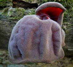 Jelly ear | Dave Buckley | Flickr