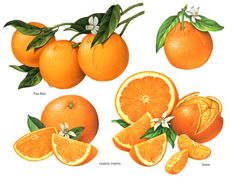 fruit illustrations of oranges with whole fruit and slices with blossoms and leaves.