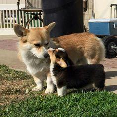 Corgi lovers, Corgi dog lovers, The Welsh Corgi, Pembroke Welsh Corgi Cute Baby Animals, Animals And Pets, Funny Animals, Cute Puppies, Cute Dogs, Dogs And Puppies, Teacup Puppies, Corgi Dog, Dog Cat