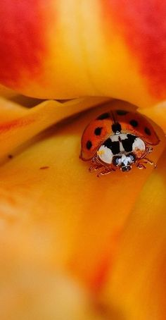 Ladybird and Daylily. Photograph by Steve Adams. (I love macro + nature)