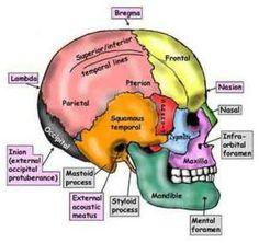 Anatomy Head, Skull Anatomy, Anatomy Bones, Brain Anatomy, Dental Anatomy, Medical Anatomy, Neck And Back Pain, Head And Neck, Cranial Sacral Therapy