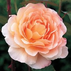 Tamora - David Austin Roses.  strong fragrance, excellent repeating.  stays short in warm climates. 3 ft tall & wide