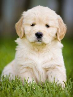 Golden Retriever Puppy Fotografie-Druck