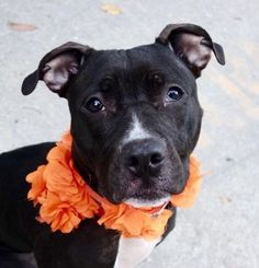 LONDON - A1097306 - - Manhattan  Please Share:TO BE DESTROYED 12/03/16   A volunteer writes: Little London is closer to puppyhood than adulthood in looks and actions. She is quite small at 35 pounds, shy at times, playful at others, getting excited with a ball game or a tug toy. She is really cute and has been well cared for. Her weight is perfect and her ebony coat , flawless. London does not mind me outfitting her with a coat or a scarf, just looks puzzled like so often d