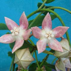 Hoya aff. imperialis Cutting IML 1270 [1270x] - $20.00 : Buy Hoya Plants Online in Many Species from SRQ Hoyas Today!