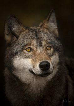 Wolf Close-Up - Gorgeous Photo !