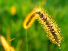 wheat flowers - Google Search