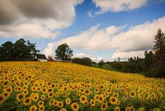 Sunflower Fields Forever.