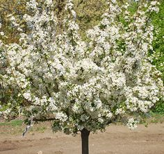Klehm's Song Sparrow Farm and Nursery--Woody Plants--Malus sargentii Firebird® ('Select A')