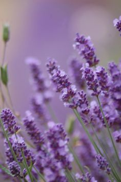 Lavender - how would this look with our bluish-gray house?