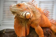 Rusty the Red Iguana | breathelighter