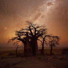 Kubu Island, Makgadikgadi Pans, Botswana  Kubu Island Boababs by Hougaard Malan)