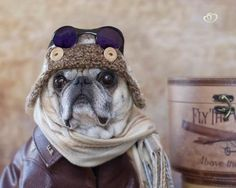 boodapug:    Oliver James in is flying gear. Photo by Pugs and Kisses.