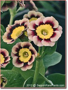 Nature's Unreal Beauty - Primula auricula 'Sirius'; Photo by: Jonathan Buckley