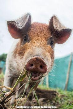 Probablemente lo que sabes de los cerdos está mal :)   Los cerdos destacan por…