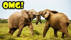 Most amazing wild animal attacks #33 Elephant attack Elephant, Hippo, Rh...
