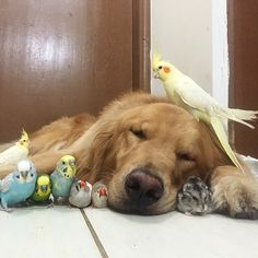Meet the golden retriever, hamster and eight pet birds that are the best of friends. Hamsters As Pets, Cute Hamsters, Cute Baby Animals, Animals And Pets, Funny Animals, Dog Best Friend, Dog Friends, Tier Fotos, Cute Birds