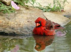 bathing male cardinal