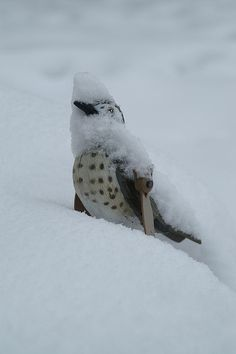 snow thrush, Crookesmoon, Sheffield, England