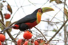 Rhamphastos dicolorus.( Tucano do bico verde ) A I Santa Marina 06-2010jpg