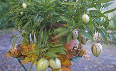 Birnenmelone, Pepino