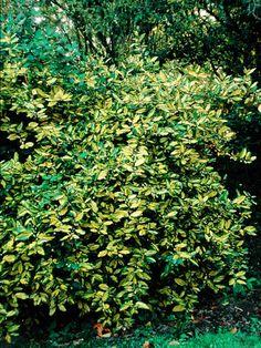 Elaeagnus pungens 'Maculata' -- 15 x 15 ft; drought tolerant once established; fragrant inconspicuous flowers Sept-Oct; good impenetrable hedge