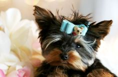 yorkies | Yorkies for sale, Teacup yorkies