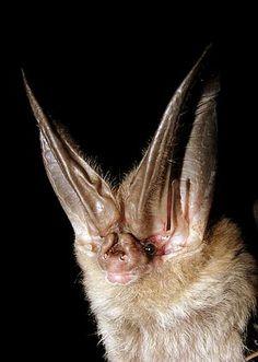 Corynorhinus townsendii  Townsend's Long-eared Bat
