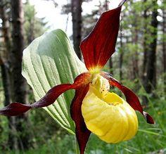 lady slipper flowers - Google Search