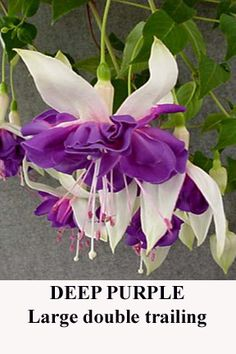 DEEP PURPLE:    Double trailing. The picture says it all. Spectacular! Large blooms.