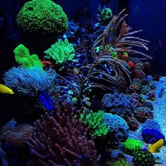 @renatosreef is . #polyplab . Want us to feature your tank? Direct Message us your pictures for a feature! . #coral #reeftank #coralreeftank #reef #reefpack #reef2reef #reefcandy #reefersdaily #reefrEVOLution #coralreef #coraladdict #reefaholiks #reefjunkie #reeflife #instareef  #allmymoneygoestocoral #instareef  #reefpackworldwide #ilovemyreef #rarecorals #reefing #exoticcorals #reefporn #reeferdise #reefers4reefers #coralporn #aquarium #polyplab