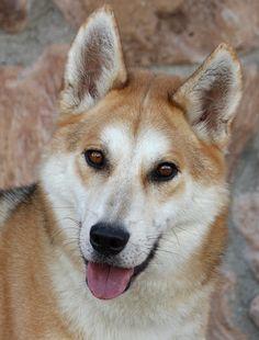Wesley von Weston is a lovable 2 year old Shepherd/Husky mix. www.sheprescue.org Westside German Shepherd Rescue of Los Angeles