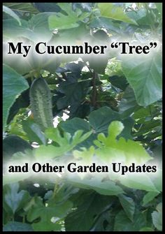 """In Today's Daily Blog Post I talk about my cucumber """"tree"""", I also share a bit about the lettuce I'm letting go to seed and I talk about the ripe grapes I've be"""