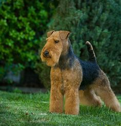 Home of Darwyn Welsh Terriers in British Columbia, Canada, breeder of quality Welsh Terriers - puppies occasionally available. Welch Terrier, Airedale Terrier, Fox Terriers, Male Pose Reference, Dog Haircuts, Beautiful Dogs, Rottweiler, Mans Best Friend, Dog Grooming