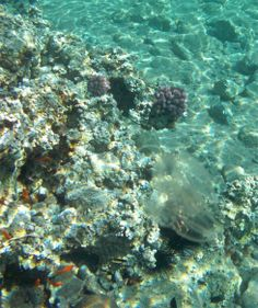 Stinging #Jellyfish Red Sea #Jordan.  Check out the blog post of our first trip to Tala Bay, Jordan. Pictures of fish, #corals and sea urchins :)