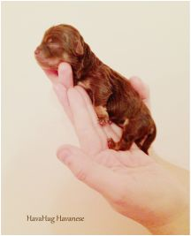 HavaHug Havanese Puppies, is a Michigan based Havanese breeder of quality Chocolate AKC Havanese Dogs. Non-shedding, Hypo-allergenic Puppies. Breeder of the Most Beautiful Chocolate Havanese! Havanese Breeders, Havanese Puppies For Sale, Havanese Dogs, Pet Beds, Poodle, Michigan, Photo Galleries, Pets, Dog Stuff