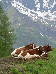 Cows in the Alps. This looks like a pretty great cow life. :)