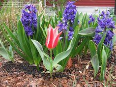 Hoa bóng đèn là một loài hoa có xuất xứ từ Hà Lan, Hoa bóng đèn được du nhập vào Việt Nam và nhanh chóng khẳng định được vị thế của mình là một loài hoa quý. Chỉ cần ngắm nhìn những bông hoa này là bạn có thể hiểu tại sao loài hoa này lại được mọi người yêu thích đến vậy