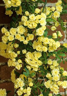 For front entry: Rosa banksiae 'lutea', introduced 1824, H10 x S10m, vigorous climber, late spring blooms